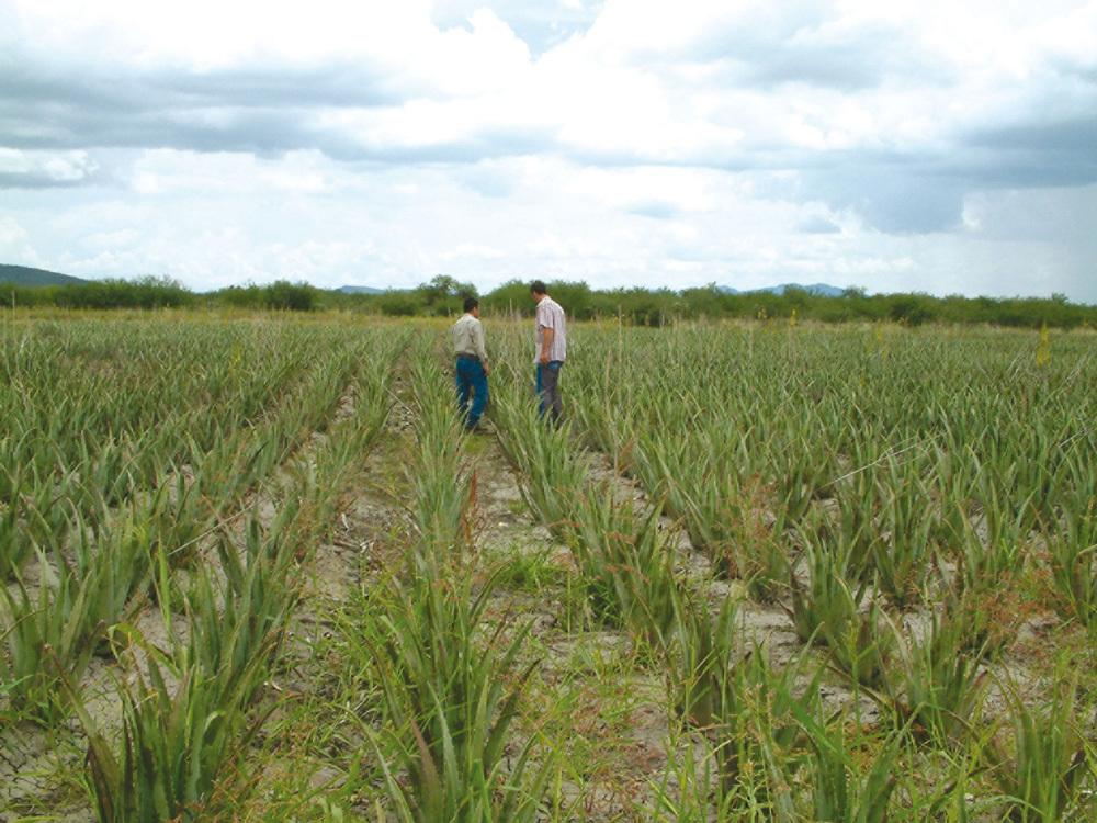 Aloe Vera Biosaft Plantage